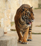 Tiger Pacing and looking hungry royalty free stock images