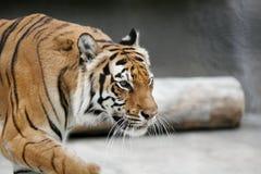Tiger Pacing. Pacing Tiger at the Baton Rouge Zoo stock photos