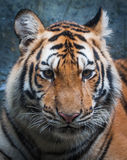 Tiger page Stock Photo