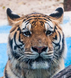 Tiger page Stock Photography