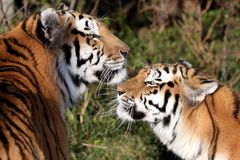 Tiger Pair Royalty Free Stock Images