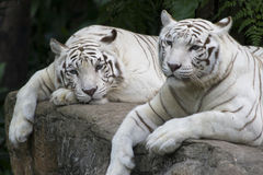 Tiger Pair. A pair of white tigers enjoying a peaceful day Royalty Free Stock Photography