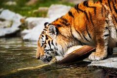 Tiger - Panthera der Tigris lizenzfreie stockfotos