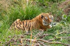 Tiger, Panthera der Tigris, die größten katzenartigen Spezies Stockfoto
