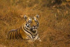 Tiger Panthera le Tigre le Tigre Jaichand, réserve naturelle d'Umred-Karhandla, maharashtra, Inde photographie stock