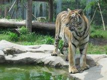 Tiger Panthera tigris fotografia de stock
