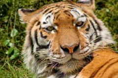 Tiger (Panthera Tigris) Lizenzfreie Stockbilder