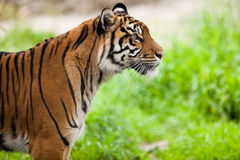 Tiger (Panthera tigris). Close-up portrait of a tiger observing its territory Stock Photography
