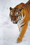 Tiger (Panthera tigris) Stock Photography