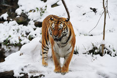 Tiger (Panthera tigris) Royalty Free Stock Photography