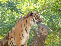 Tiger (Panthera tigris) Arkivbild