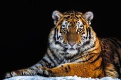 Tiger - Panthera tigris Arkivfoton