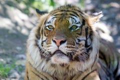 Tiger Panthera tigris Royalty Free Stock Image