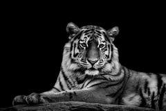 Tiger - Panthera tigris Arkivbilder