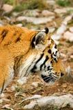 Tiger Panthera tigris altaica Stock Image