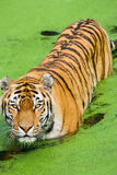 Tiger Panthera tigris altaica Stock Images