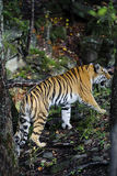 Tiger. Panthera tigris altaica-Ussuriyrsky tiger most northern tiger Stock Photography