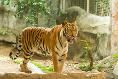 Tiger (Panthera tigris) on artificial rock Royalty Free Stock Images