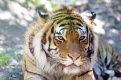 Tiger Panthera tigris Stock Photos