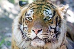 Tiger Panthera tigris Royalty Free Stock Photo