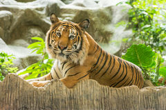 Tiger (Panthera tigris). Crouching on artificial rock Royalty Free Stock Image