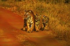 Tiger Panthera tigris Hirdinala kvinnlig med gröngölingar Tadoba Tiger Reserve, Chandrapur område Fotografering för Bildbyråer