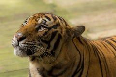 Tiger (Panthera tigris) i gullig framsida Arkivbilder