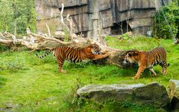 Tiger (Panthera tigris) is the largest cat species, most recogni. Zable for their pattern of dark vertical stripes on reddish-orange fur with a lighter underside Royalty Free Stock Photos