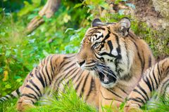 Tiger (Panthera tigris) is the largest cat species, most recogni Stock Image