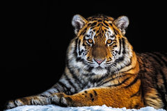 Tiger - Panthera tigris. The tiger - Panthera tigris - is the largest cat species, most recognisable for their pattern of dark vertical stripes on reddish-orange Stock Photos