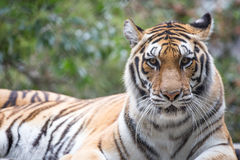 Tiger (Panthera tigris) Royalty Free Stock Image