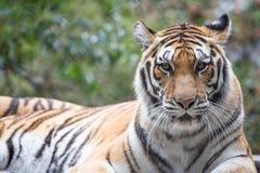 Tiger (Panthera tigris) Royalty Free Stock Image