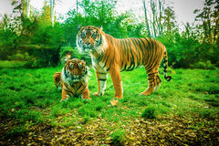 Tiger (Panthera tigris). Tiger is largest cat species, reaching total body length of up to 3.38 m over curves and weighing up to 388.7 kg in wild stock image