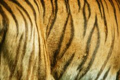 The tiger. (Panthera tigris) is the largest cat species. It is the third largest land carnivore (behind only the polar bear and the brown bear Royalty Free Stock Image