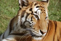 The tiger. (Panthera tigris) is the largest cat species. It is the third largest land carnivore (behind only the polar bear and the brown bear Stock Images