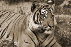 The tiger. (Panthera tigris) is the largest cat species. It is the third largest land carnivore (behind only the polar bear and the brown bear Stock Photo