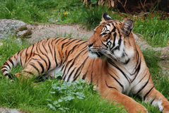 The tiger. (Panthera tigris) is the largest cat species. It is the third largest land carnivore (behind only the polar bear and the brown bear Stock Photography