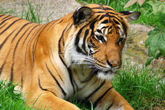 The tiger. (Panthera tigris) is the largest cat species. It is the third largest land carnivore (behind only the polar bear and the brown bear Royalty Free Stock Photos