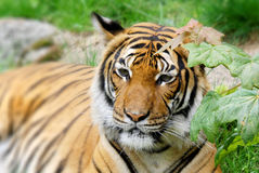 The tiger. (Panthera tigris) is the largest cat species. It is the third largest land carnivore (behind only the polar bear and the brown bear Royalty Free Stock Photography