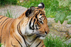 The tiger. (Panthera tigris) is the largest cat species. It is the third largest land carnivore (behind only the polar bear and the brown bear Stock Image