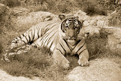 The tiger. (Panthera tigris) is the largest cat species. It is the third largest land carnivore (behind only the polar bear and the brown bear&# Royalty Free Stock Images