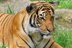 The tiger. (Panthera tigris) is the largest cat species. It is the third largest land carnivore (behind only the polar bear and the brown bear Stock Photos