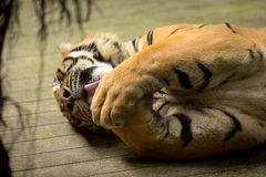 Tiger (Panthera tigris) licking his claws Royalty Free Stock Image