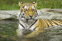 The tiger Royalty Free Stock Image