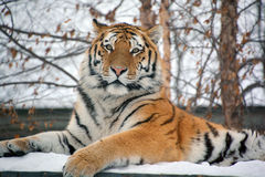 The tiger. Panthera tigris a member of the Felidae family, is the largest of the four big cats in the genus Panthera.  is native to much of eastern and southern Royalty Free Stock Photography