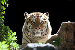 Tiger Panthera tigris Stock Photo