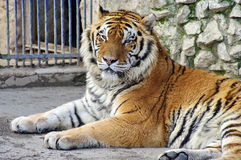 Wid animal. Tiger - Panthera tigris. Wild animal. Powerful male tiger, in resting time. Panthera tigris Stock Photo