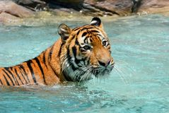 Tiger Panthera tigris relaxing in pool. On a hot summer day Stock Photos