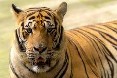 Tiger (Panthera tigris) som stirrar på mig Royaltyfri Foto