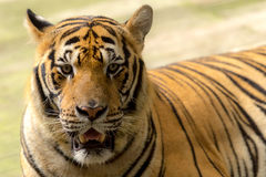 Tiger (Panthera tigris) staring at me Royalty Free Stock Photo